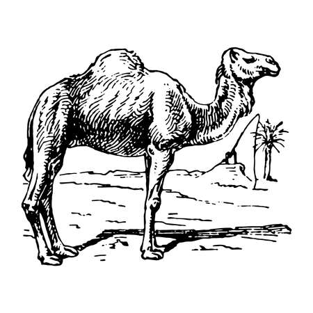 Vintage engraving style vector illustration of a dromedary, Somali camel or Arabian camel