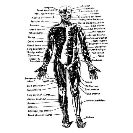 Vintage engraving style vector illustration of a male body medical graphic, muscles Illustration