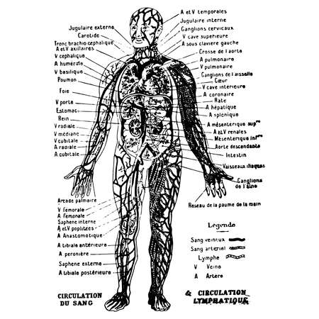 Vintage engraving style vector illustration of a male body medical graphic, blood circulation