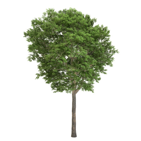 ashes: Ash tree isolated on white.