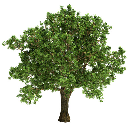 oak tree silhouette: Small oak tree isolated on white. Stock Photo