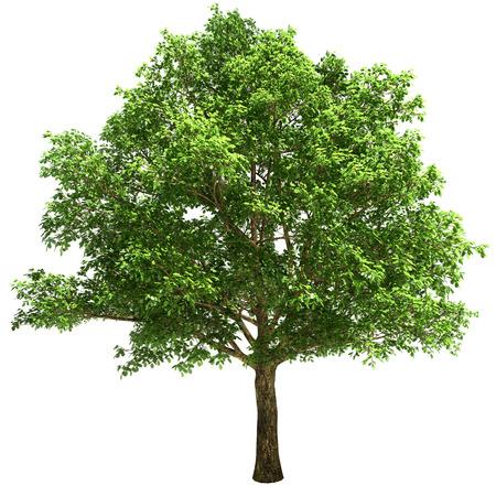 arbol alamo: �rbol de roble grande aislado en blanco.