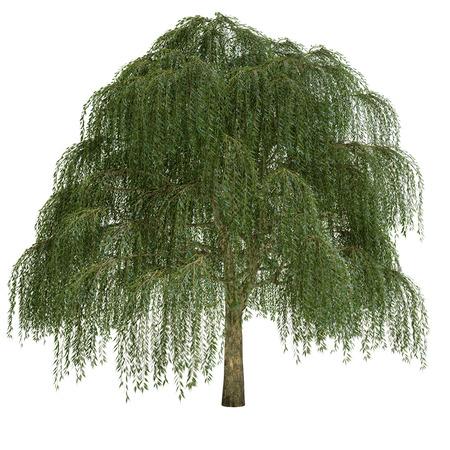 柳の木は、白で隔離されます。