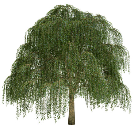 Willow tree isolated on white.