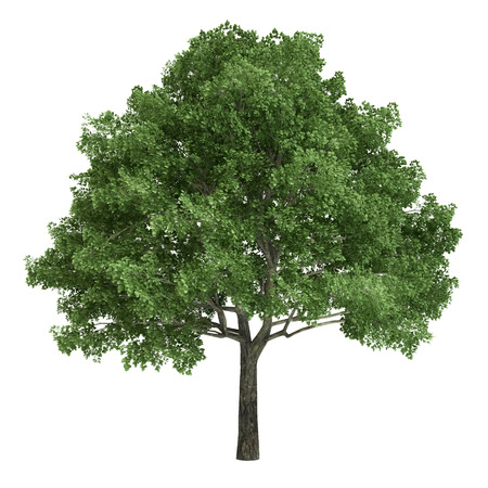 poplar: North american oak tree isolated on white. Stock Photo