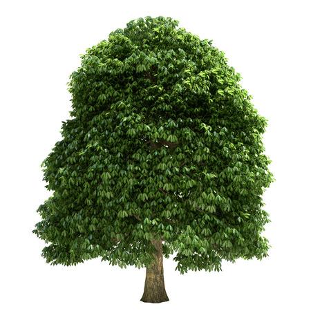 栗の木は、白で隔離。