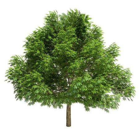 Grande albero di castagno isolato su bianco. Archivio Fotografico