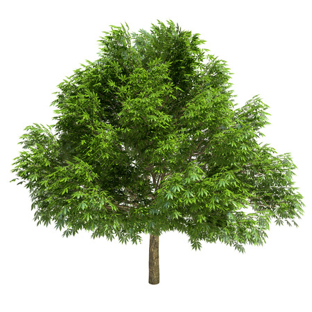 Great chestnut tree isolated on white.