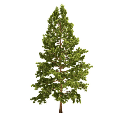 Tall Pine Tree isolated on white.