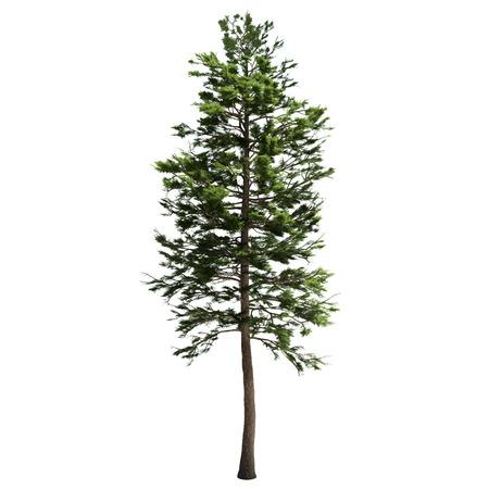 Tall american dennenboom geïsoleerd op wit.