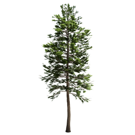 Tall american pine tree isolated on white.