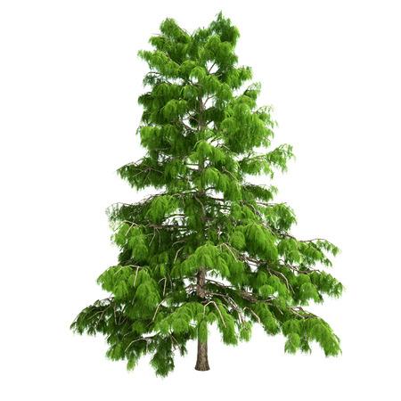 cedar: Cedar tree isolated on white.