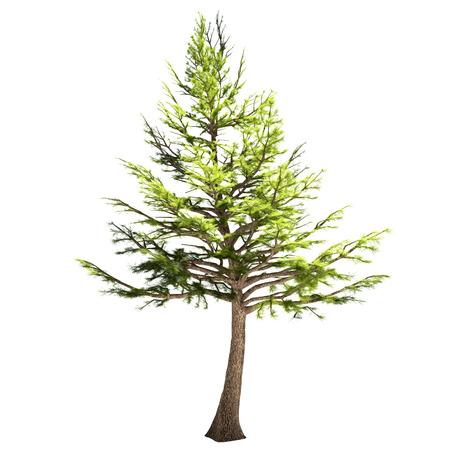 cedro: Líbano árbol de cedro aislado en blanco.