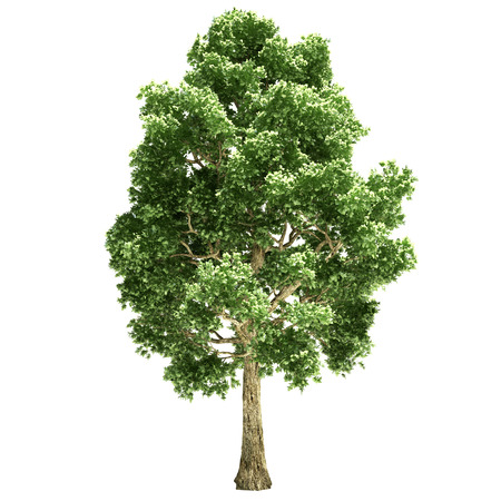 poplar: Poplar tree isolated on white.