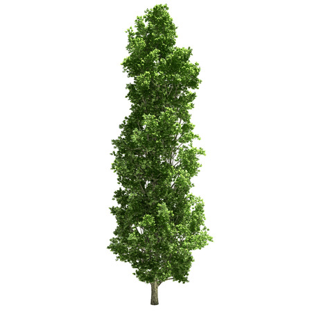 Poplar tree isolated on white.