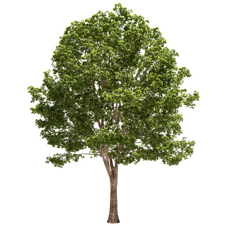 Basswood tree isolated on white.