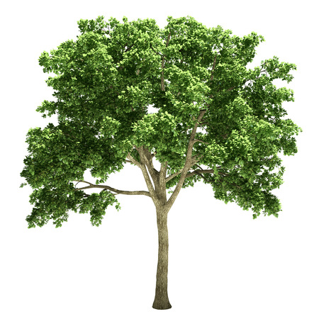 Elm tree isolated on white.