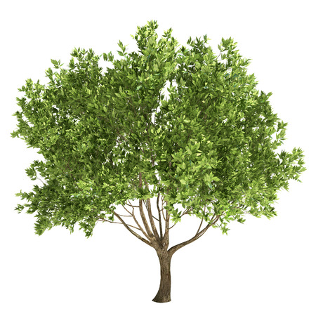olive green: Olive tree isolated on white.