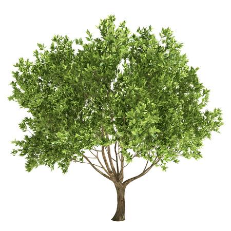 arbol alamo: Olivo aislado en blanco.