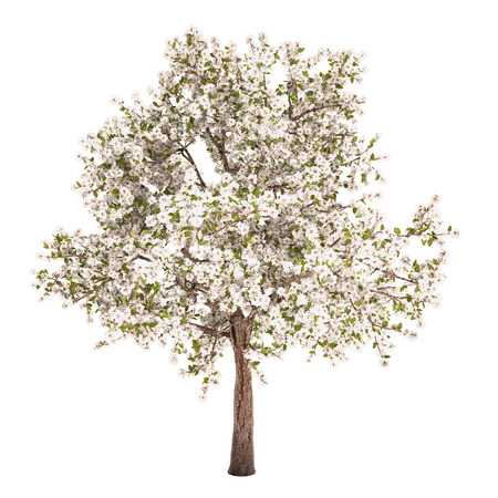 Pear tree isolated on white.