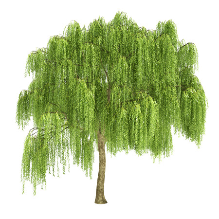 Weeping willow tree isolated on white.