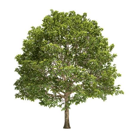hornbeam: Hornbeam tree isolated on white. Stock Photo
