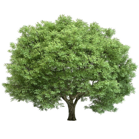 bark: Oak tree isolated on white.