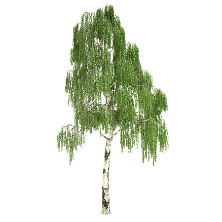 Tall russian birch tree isolated on white.