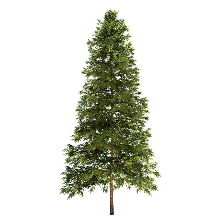 solitary tree: Spruce tree isolated on white. Stock Photo