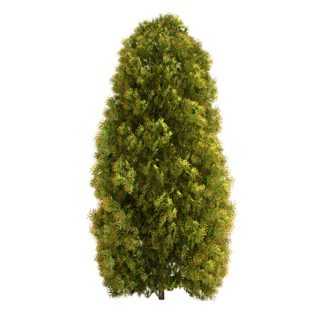black and white forest: Thuja tree isolated on white.