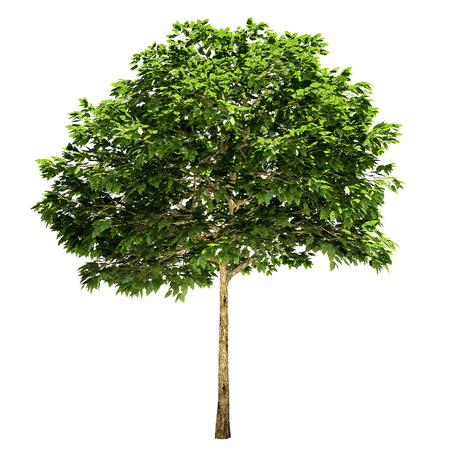 rowan tree: Rowan tree isolated on white.