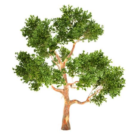tall tree: Tall Eucalyptus tree isolated on white.