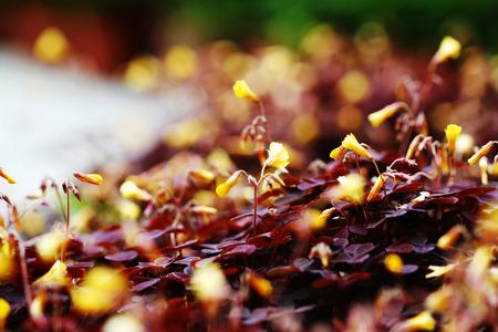 sepals: False Shamrock with yellow flowers