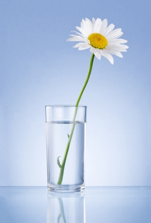 Single Fresh chamomile in glass water Isolated on blue background photo