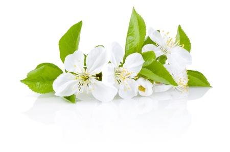白い背景の上の果物の木免震の春の花 写真素材