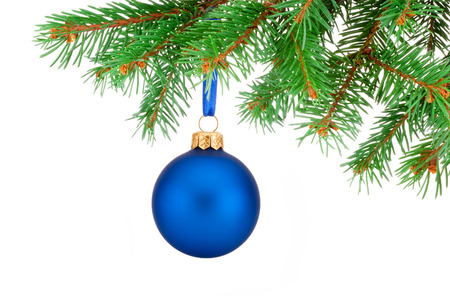 evergreen tree: Christmas blue ball hanging on a fir tree branch Isolated on white background
