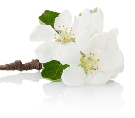 feuille arbre: fleurs de printemps Close-up d'arbres fruitiers isolés sur fond blanc Banque d'images