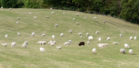 exceptional: On black sheep in a field of white sheep concept of standing out in a crowd Stock Photo