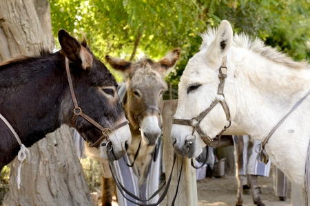 coming together: three donkeys coming together for a meeting head to head