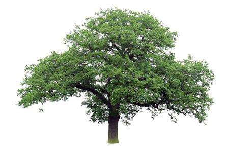 흰색 배경에 고립 된 녹색 잎 단일 오크 나무