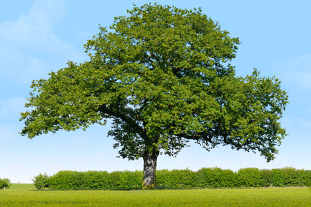 Solitary Oak in a grass field on a sunny blue sky day
