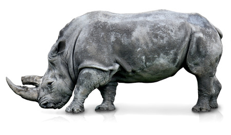 An isolated rhino in a white background