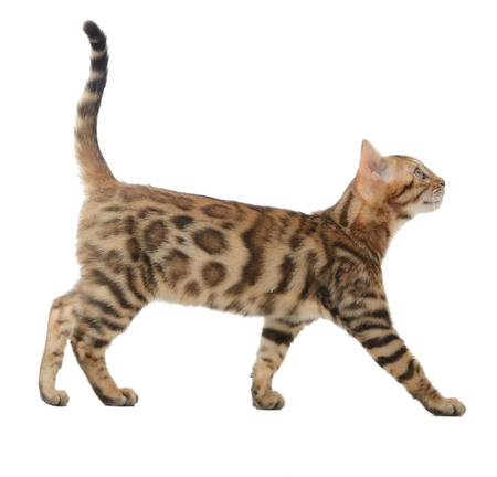 cute pussy: Side view of a bengal cat walking and looking up into a copy space isolated on a white background