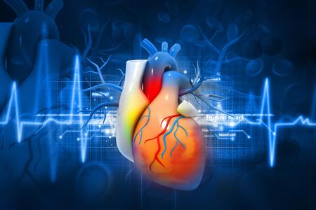 the human heart: Coraz�n humano