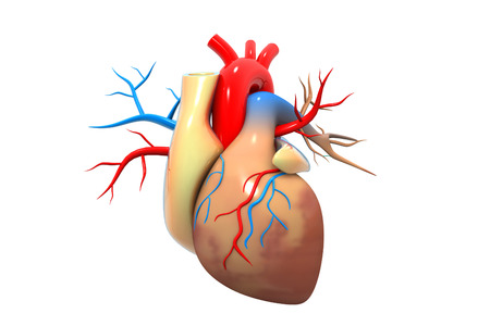 human nervous system: Human heart