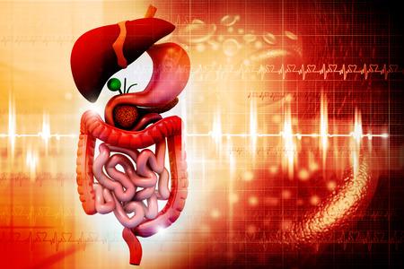 Digital illustration of Human internal organs