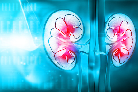 Menschliche Niere Querschnitt