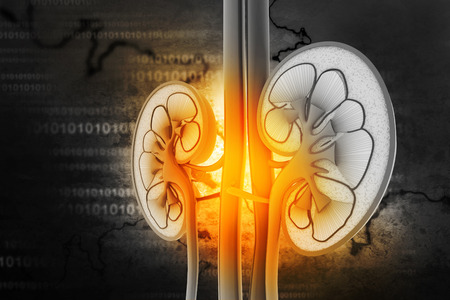 suprarrenales: Sección transversal de riñón humano