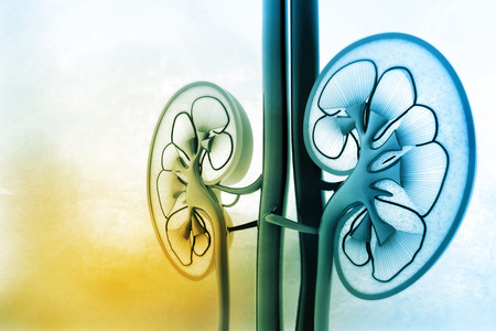 dialysis: Human kidney cross section