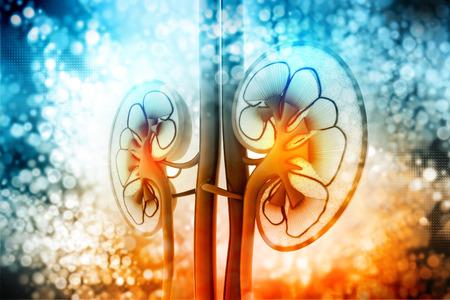 sistemas: Sección transversal de riñón humano